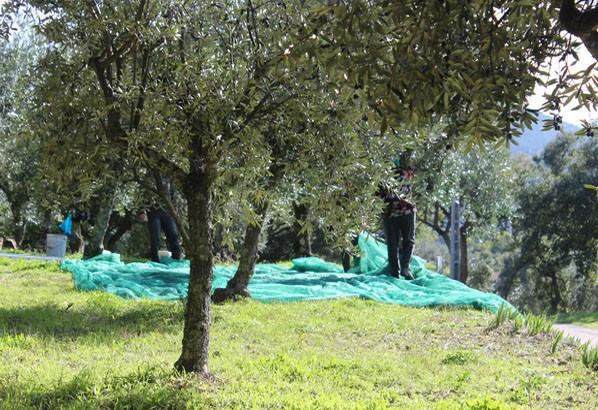 Olive harvesting net