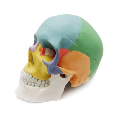 Life Size Colored Skull Medical Model, Plastic Anatomy Skull Model