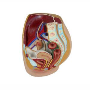 Female pelvic anatomic reproductive system model, female genital teaching model for medical teaching and training