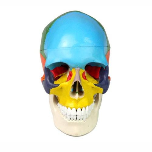 Colored life size human medical anatomy skull model