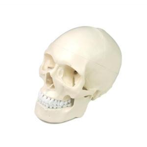 Anatomical plastic life size human medical anatomy skull model