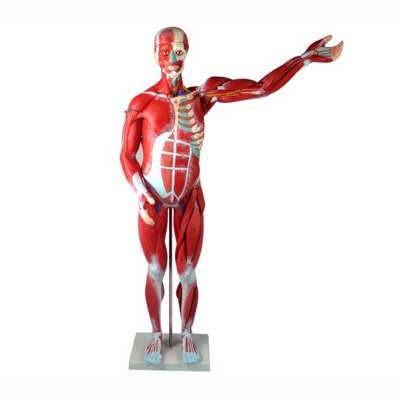 Human Whole Body Manikin Organ Teaching Model, Anatomical Human Body Muscle Dissection Anatomy Model With Internal Organs