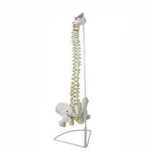 PVC life size vertebral column spine skeleton 3d lumbar anatomical model with pelvis for teaching
