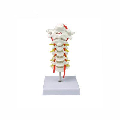 Cervical vertebra carotid artery, occipital, intervertebral disc and nerve skeleton model, cervical spinal column
