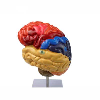 Human organ brain anatomical plastic colorized model