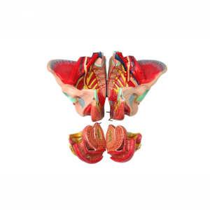 Female genital pelvic anatomic model with pelvic floor muscle and vascular nerve