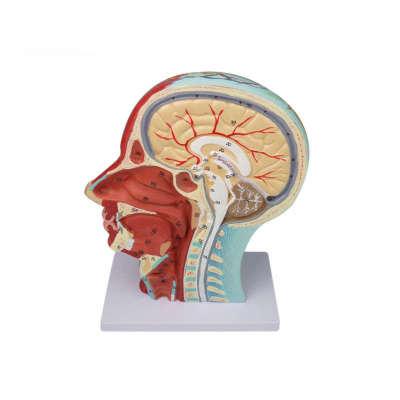 Human anatomical head model, muscle-bound neurovascular model of the human skull, head median sagittal section model