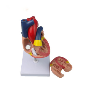 Life Size Biology Human Heart Anatomical Models for Medical Demostration