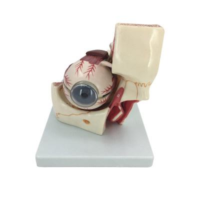 Human Eyeball and eyelid enlargement model