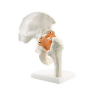 Anatomical human skeleton Hip joint skeleton model with ligament teaching model